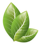 Vector. Beautiful green leaves on a white background Stock Photography