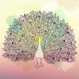 Vector Beautiful Hand drawn Peacock bird Royalty Free Stock Images