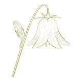 Vector bell-flower. Vector bell-flower in vintage engraving style Stock Photos