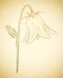 Vector bell flower. Vector colored bell flower in vintage engraving style Stock Photography