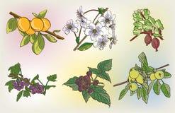 Vector berry harvest set Royalty Free Stock Photo