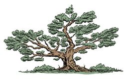 Vector - Big old tree royalty free illustration