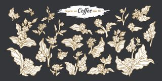Vector big set of coffee branches. Stock Image