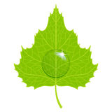 Vector birch leaf. Vector birch green leaf with water drop Stock Photos