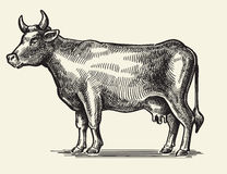 Vector black cow Royalty Free Stock Images