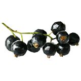 Vector black currant isolated Royalty Free Stock Photography