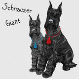 Vector black Giant Schnauzer dog sitting Stock Photos