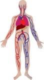 vector bloedsysteem van de persoon Stock Afbeelding