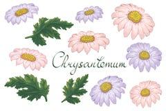 Vector bloemenillustratie met violette chrysant Ge?soleerde elementen op een witte achtergrond Purper en roze gouden-madeliefje v vector illustratie
