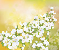 Vector blossoming branches of apple  tree, spring background. Royalty Free Stock Photos
