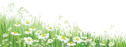 Vector  blossoming daisy flowers  field. Vector  blossoming daisy flowers  field, nature border isolated Royalty Free Stock Images
