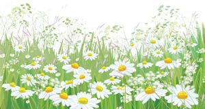 Vector  blossoming daisy  flowers  field. Vector  blossoming flowers  field, nature border isolated Royalty Free Stock Photos