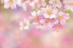 Vector blossoming sakura tree. Royalty Free Stock Images