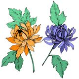 Vector Blue and orange Chrysanthemum floral botanical flowers. Engraved ink art. Isolated flower illustration element. royalty free illustration