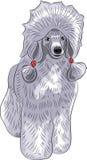 Vector blue poodle. royalty free illustration