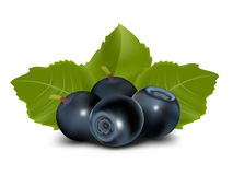 Vector. Blueberry with leaves Stock Image
