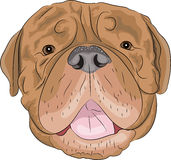 Vector Bordeaux mastiff Royalty Free Stock Photography