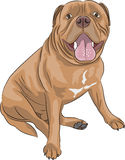 Vector Bordeaux mastiff Royalty Free Stock Photo
