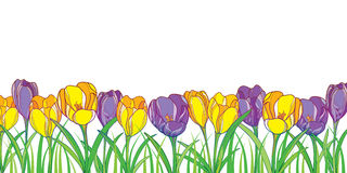 Vector border with outline violet and yellow crocuses or saffron flowers and green grass isolated on white. Ornate floral elements Royalty Free Stock Photo