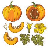 Vector botanical set with  pumpkins, flowers and leaves. Vector botanical set with  pumpkins, flowers and leaves Royalty Free Stock Images