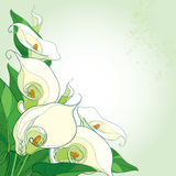 Vector bouquet with Calla lily flower or Zantedeschia on the pastel background. Corner composition in contour style with calla. Vector bouquet with Calla lily Royalty Free Stock Images