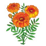 Vector bouquet with orange Tagetes or Marigold flower, bud and green leaf isolated on white background. Ornate Marigold flowers. Royalty Free Stock Photography