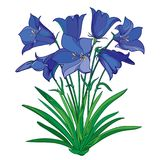 Vector bouquet with outline blue Alpine campanula flower or Bellflower of Alps, bud and ornate green leaves isolated on white. Vector bouquet with outline blue Stock Photos