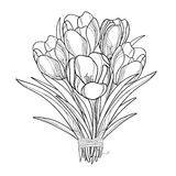 Vector bouquet with outline crocus or saffron flowers isolated on white. Ornate floral elements for spring design, greeting card. Stock Images