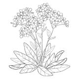 Vector bouquet with outline Forget me not or Myosotis flower, bunch, bud and leaves in black isolated on white background. Wildflower Forget me not in contour stock illustration