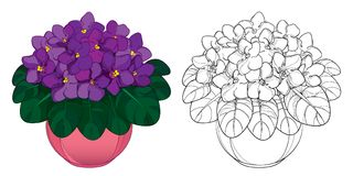 Vector bouquet with outline Saintpaulia or African violet flower in round pot. Purple flowers and foliage isolated on white. Stock Photo