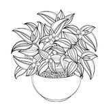Vector bouquet with outline Tradescantia or Inch plant or Wandering Jew flower, bunch and leaf isolated on white background. Potted houseplant in contour for Royalty Free Stock Photos