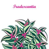 Vector bouquet with outline Tradescantia or Inch plant or Wandering Jew flower. Pink flower and striped green leaf isolated. Vector bouquet with outline Royalty Free Stock Photography