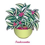 Vector bouquet with outline Tradescantia or Inch plant or Wandering Jew flower. Pink flower and striped green leaf isolated. Vector bouquet with outline Royalty Free Stock Image