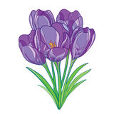 Vector bouquet with outline violet crocus or saffron flowers and green leaves isolated on white. Ornate floral elements for spring Stock Images