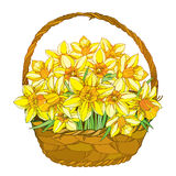 Vector bouquet with outline yellow narcissus or daffodil flowers in the basket isolated . Floral elements for spring design. Royalty Free Stock Photos
