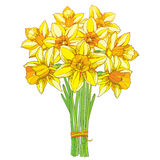 Vector bouquet with outline yellow narcissus or daffodil flowers isolated on white. Ornate floral element for spring design. Stock Images