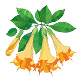 Vector branch with Brugmansia or Angels Trumpets. Outline orange flower, bud and green leaves isolated on white background. Floral elements in contour style Royalty Free Stock Images
