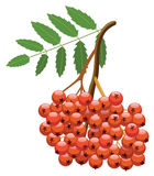 Vector berries of mountain ash tree Stock Photo