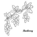 Vector branch with outline Barberry or Berberis vulgaris, bunch, ripe berry and leaves isolated on white. Ornate floral elements. Stock Image
