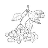 Vector branch with outline Black Chokeberry or Aronia, leaves and berry isolated on white. Illustration with autumn berry. Decor with Chokeberry in contour Royalty Free Stock Photo