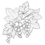 Vector branch with outline Black currant, bunch, berry and leaves isolated on white background. Floral element with blackcurrant. Vector branch with outline vector illustration