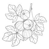 Vector branch with outline Common Fig or Ficus carica fruit and leaf in black  on white background. Stock Photography