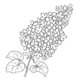 Vector branch with outline Lilac or Syringa flower bunch and ornate leaves in black isolated on white background. Blossoming garden plant Lilac in contour Royalty Free Stock Photo