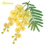 Vector branch of outline Mimosa or Acacia dealbata or silver wattle yellow flower, bud and green leaves isolated on white. Vector branch of outline Mimosa or stock illustration