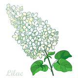 Vector branch with outline pastel white Lilac or Syringa flower bunch and ornate green leaves isolated on white background. Blooming garden plant Lilac in Royalty Free Stock Photos