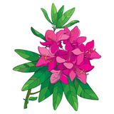 Vector branch with outline pink Rhododendron or Alpine rose flower isolated on white background. Bunch with evergreen alpenrose. Vector branch with outline pink Stock Photo