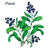 Vector branch with outline poisonous plant Privet or Ligustrum. Fruit bunch, black berry and ornate green foliage isolated. Royalty Free Illustration