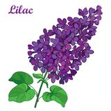 Vector branch with outline purple Lilac or Syringa flower bunch and ornate green leaves isolated on white background. Blooming garden plant Lilac in contour royalty free illustration