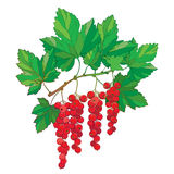 Vector branch with outline Red currant. Bunch, ripe red berry and green leaves isolated on white background. Royalty Free Stock Images