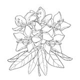 Vector branch with outline Rhododendron or Alpine rose flower Stock Photography
